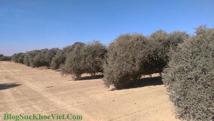 Bụi Cây Jojoba oil (Simmondsia Chinensis Seed)